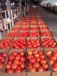 sac tomatoes